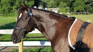 Punch- easy going, laid back gelding